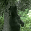 grizzly bear scratching on a tree in waterton national park