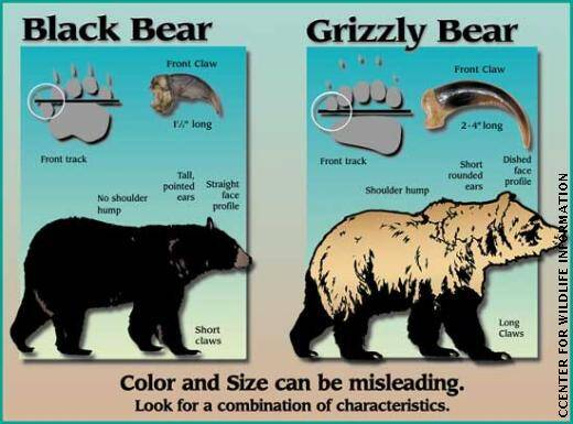 black bear vs. grizzly bear